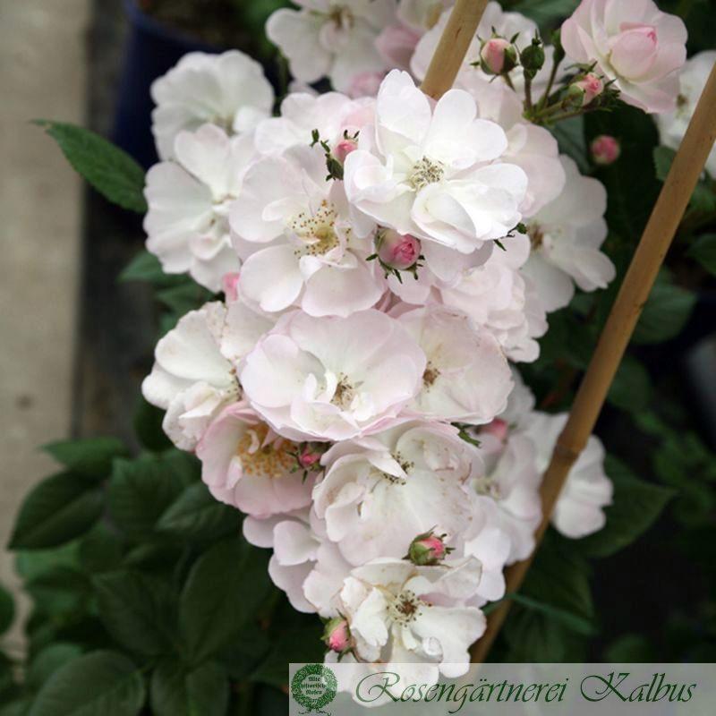 Kletterrose Perennial Blush®
