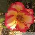 Constantins Rose