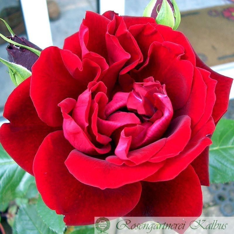 Besondere Rose Isabel Renaissance®