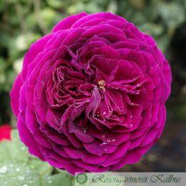 Moderne Rose Purple Lodge/ Palais Biron