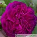 Reine des Violettes