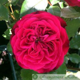 Moderne Rose Rouge Meilove®