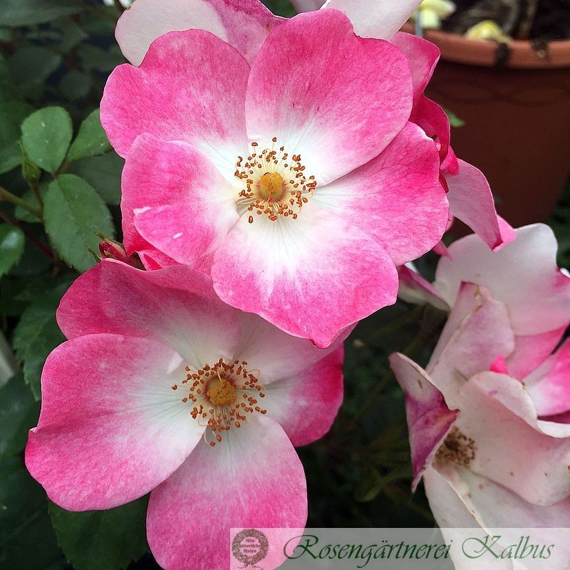 Moderne Rose Rush®