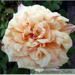 Moderne Rose Caramella®