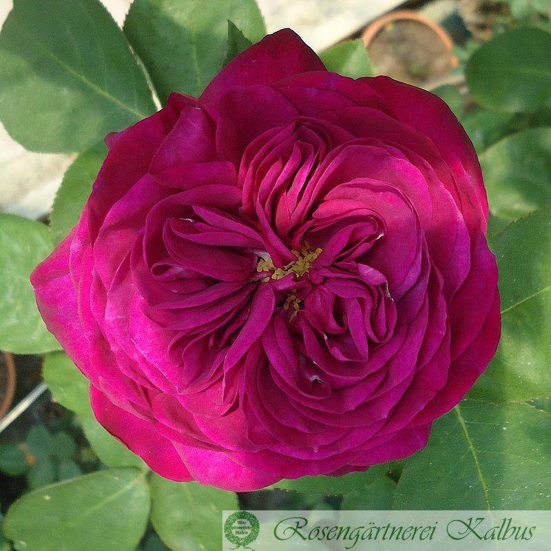 Moderne Beetrose Heidi Klum Rose®