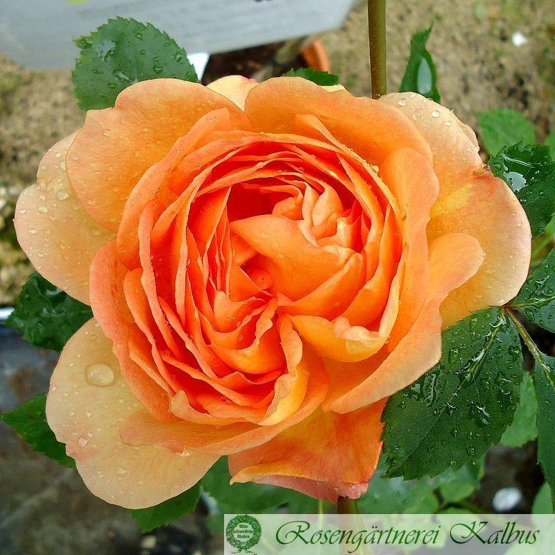 Englische Rose Lady of Shalott®