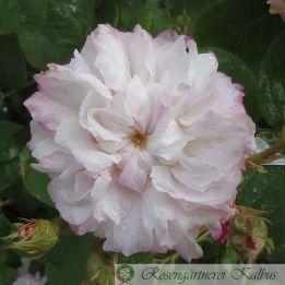 Historische Rose Léda