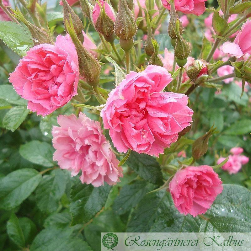 Historische Rose Pink Grootendorst