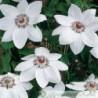 Clematis hybride 'Miss Bateman'