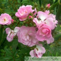 Besondere Rose Rosenprinz
