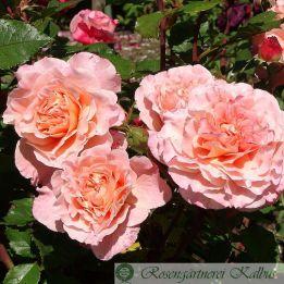 Moderne Rose Sangerhäuser Jubiläumsrose®