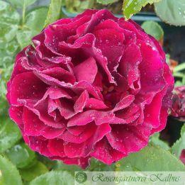 Moderne Rose Burlette