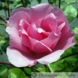 Moderne Rose Centenaire de Lourdes®