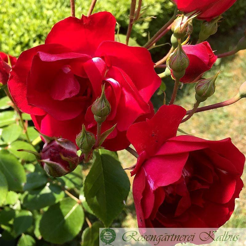 Moderne Rose Centenaire de Lourdes Rouge®