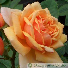 Besondere Rose Charles Austin®