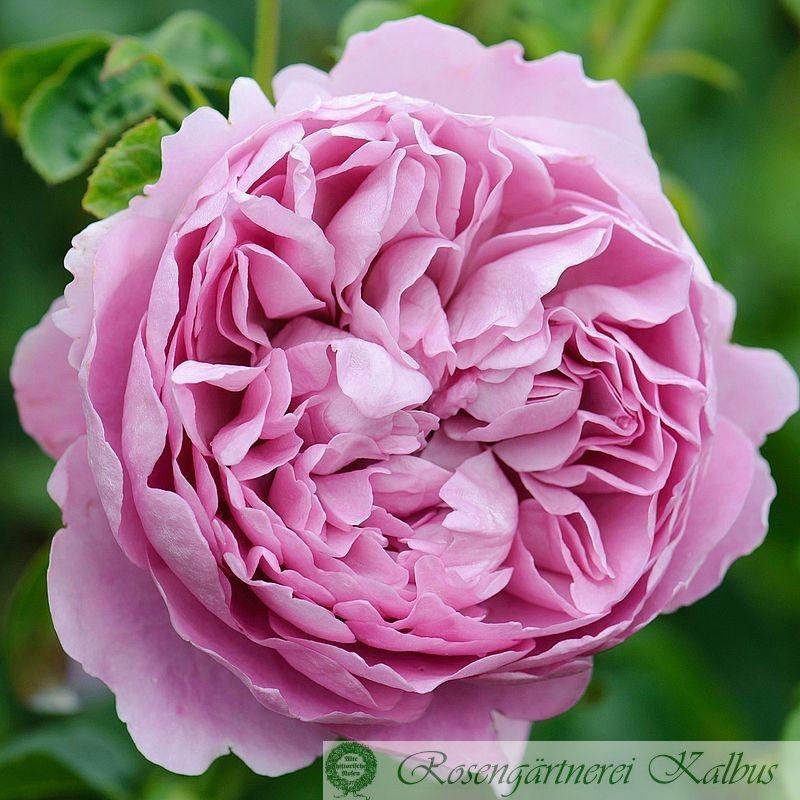 Besondere Rose Charles Rennie Mackintosh®