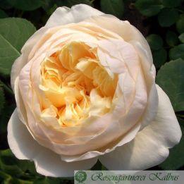 Besondere Rose Charlotte®