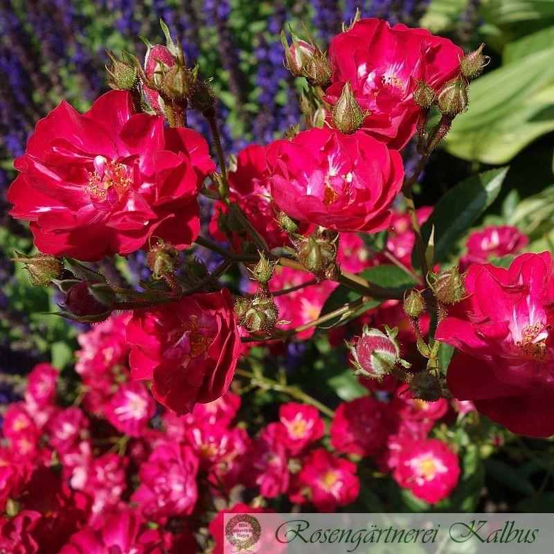 Historische Rose Charta 77
