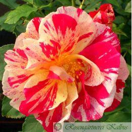 Besondere Rose Christophe de Combejean®