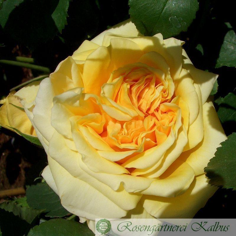 Besondere Rose Claudia Cardinale®