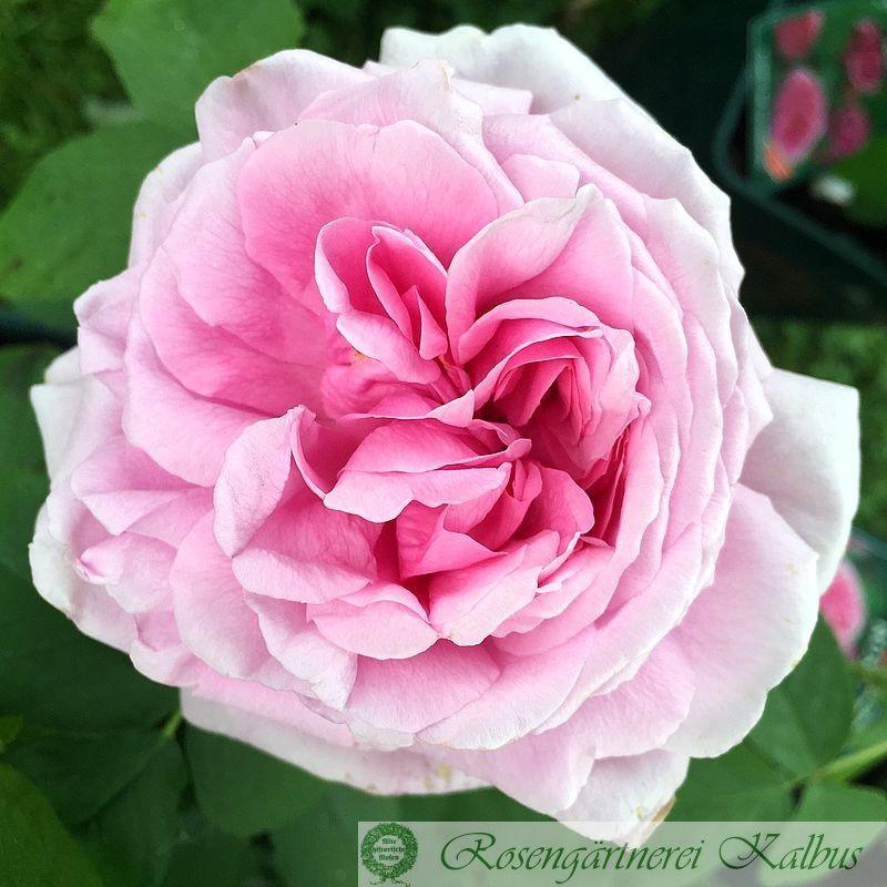 Historische Rose Comte de Chambord