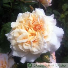 Moderne Rose Comtessa®