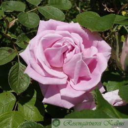 Historische Rose Conrad Ferdinand Meyer