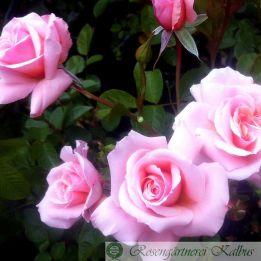 Besondere Rose Corado