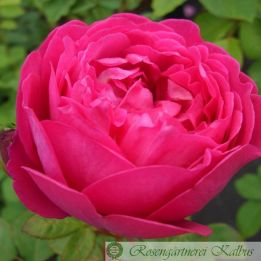 Besondere Rose Cybelle®