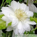 Clematis hybride 'Duchesse of Edingburgh'