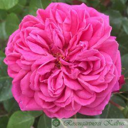 Besondere Rose Dan Poncet®