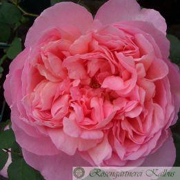 Besondere Rose Dames de Chenonceau®