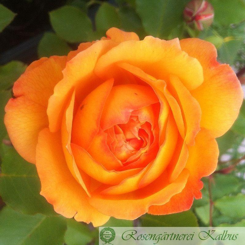 Besondere Rose Dolce Vita®