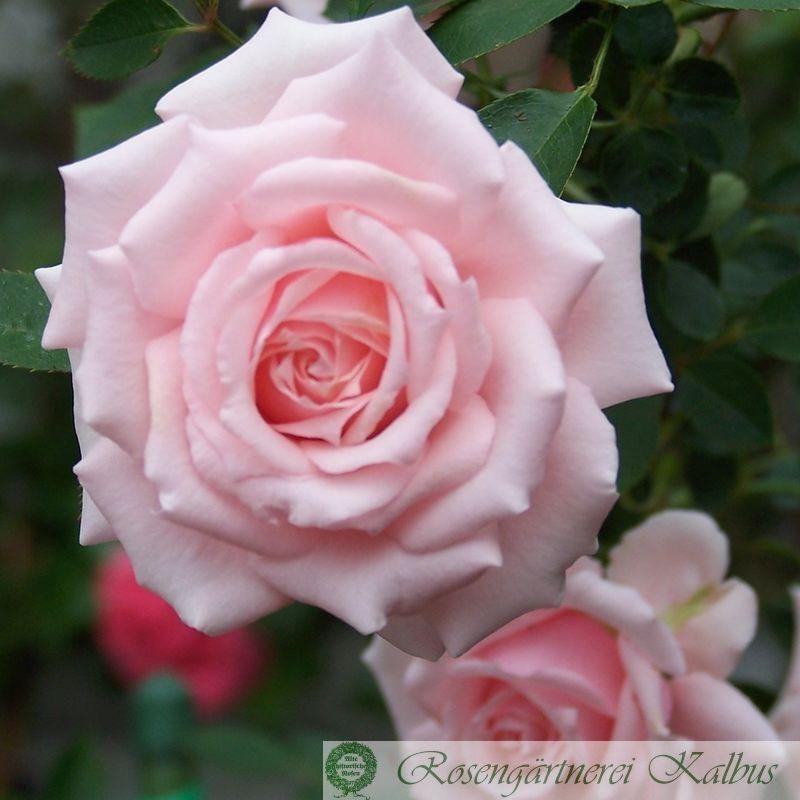 Besondere Rose Dr. Dorothea Endres