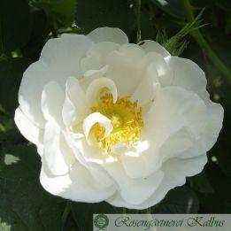 Wildrose Dupontii