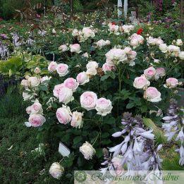 Strauchrose Eden Rose 85 (Pierre de Ronsard)®