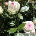 Eden Rose 85 (Pierre de Ronsard)