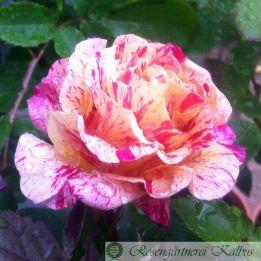 Besondere Rose Edgar Degas®