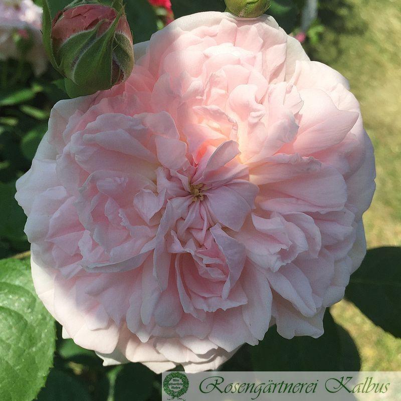 Englische Rose Eglantyne®