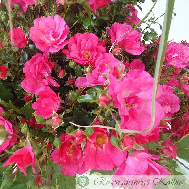 Moderne Rose Heidetraum®