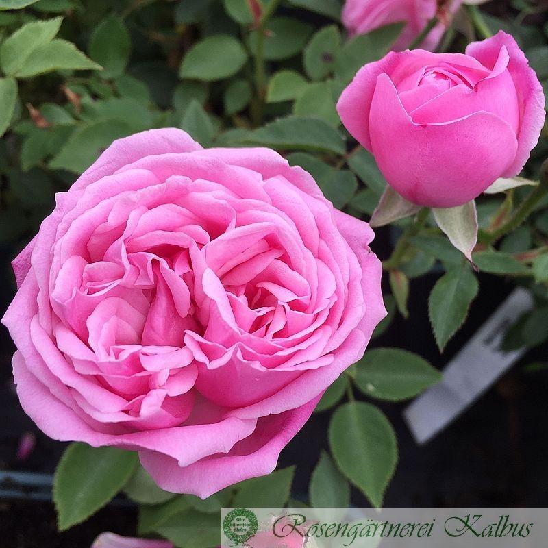 Historische Rose Hermosa