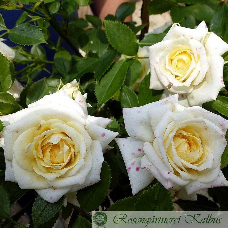 Moderne Rose Honeymilk®