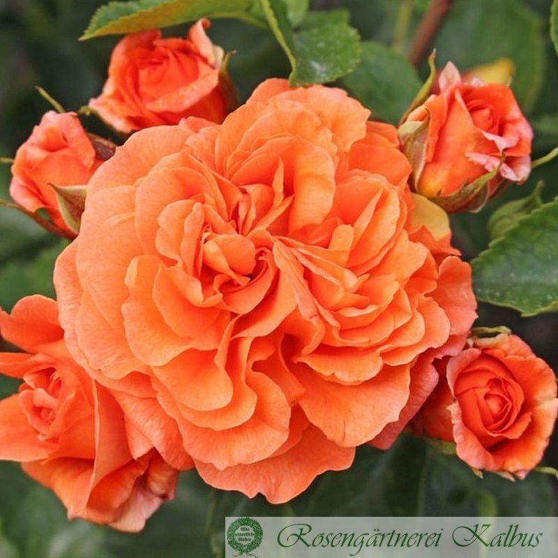 Moderne Rose Orangerie®