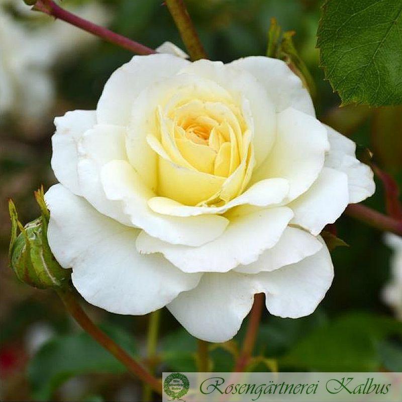 Strauchrose Centenaire de Lourdes Blanc®