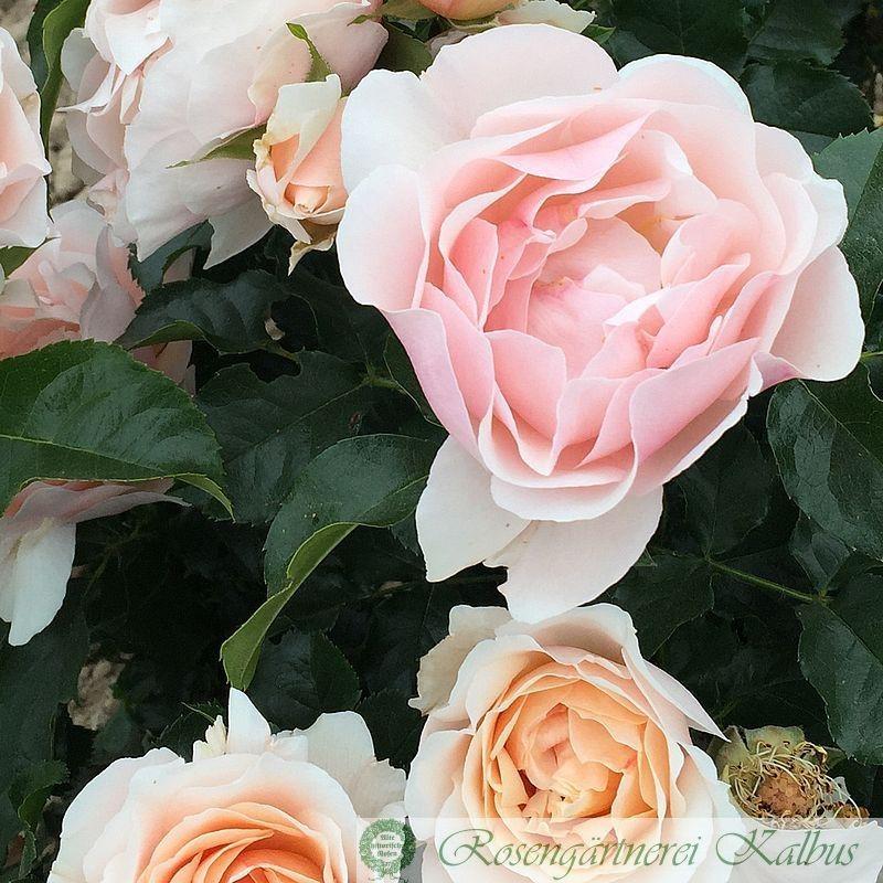 Delbard-Rose Jardin des Tuileries®