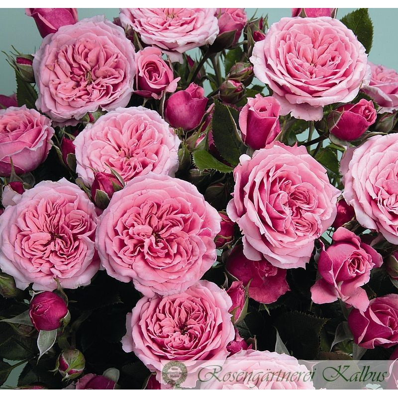 Zwergrose Pink Babyflor
