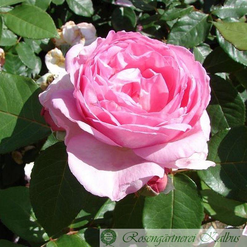 Moderne Rose Ghita Renaissance®
