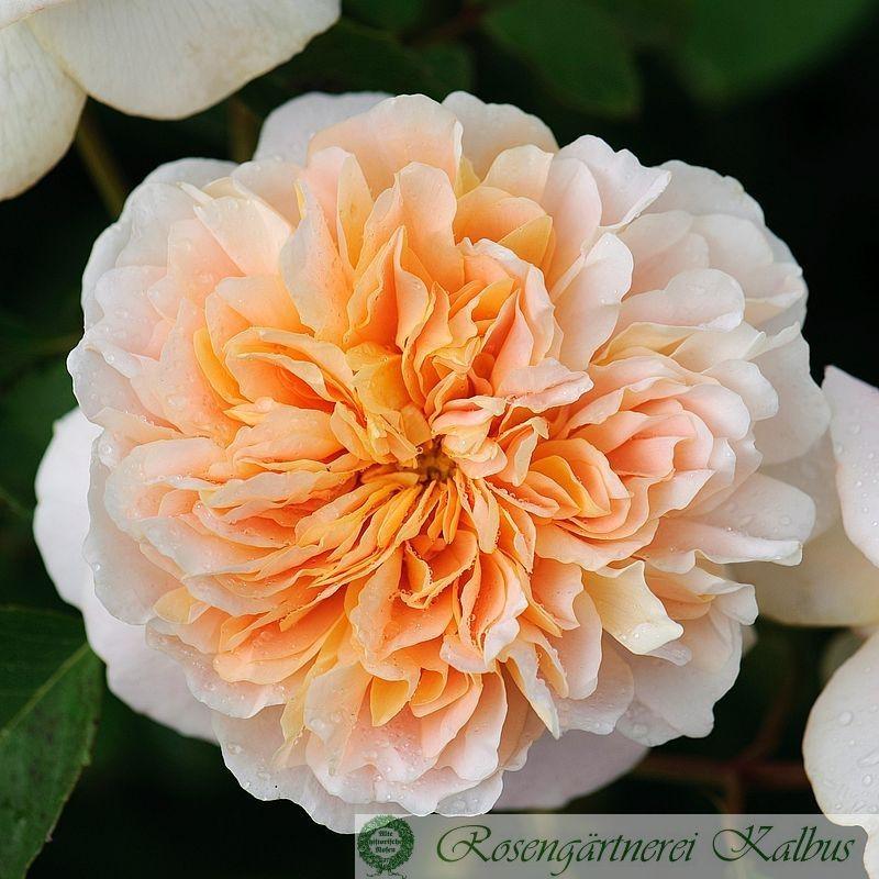 Englische Rose Tea Clipper®