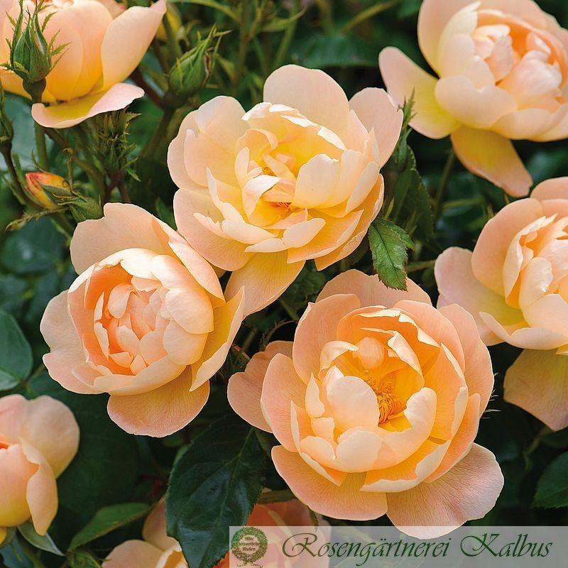 Englische Rose The Lark Ascending®