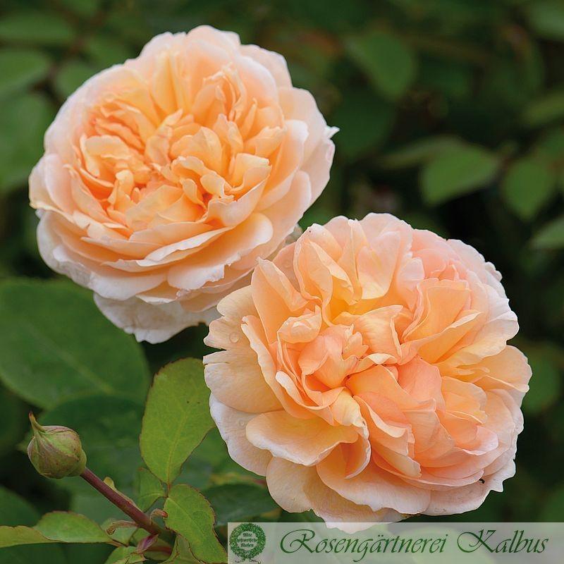 Besondere Rose The Lady Gardener®